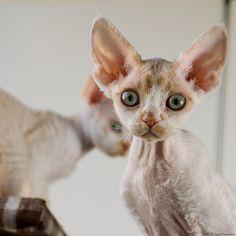 Two Devon Rex Kitties 4