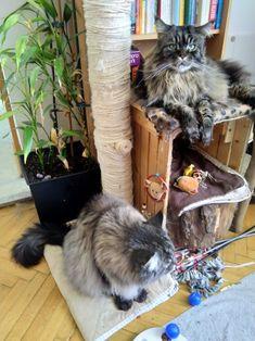 Maine Coon Spirit und Mystery warten auf Leckerlis Mystery, Maine Coon, Cats, Animals, Maine Coon Cats, Kunst, Gatos, Animais, Animales