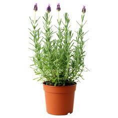 LAVANDULA Plante en pot - IKEA 3€ le pot