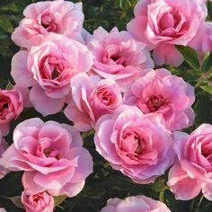 32 best miniature roses images beautiful flowers gardening tips rh pinterest com