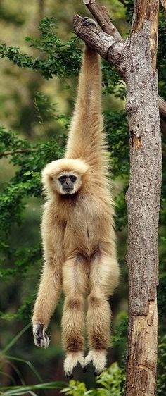 The Gibbon - by toon_ee on Flickr.