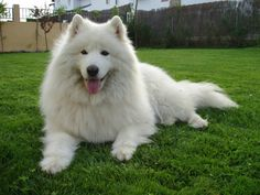 Man's best friend can be a Samoyedo pet you have raised through the years (metaphorically speaking, I mean).