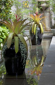 Aechmea 'Dean' and Dichondra 'silver Falls' in large containers in a reflecting pool