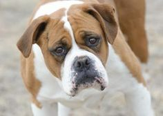 . . . a beautiful Boxer.  This is Amy who's available for adoption with National Mill Dog Rescue in Colorado Springs.  5.1.16