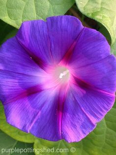 So exotic for such an easy vine! (morning glory)  www.purplepottingshed.com
