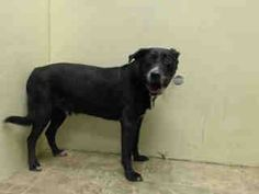 SUPER URGENT 7/5/14 Brooklyn Center   GEORGE - A1005691   NEUTERED MALE, BLACK / WHITE, LABRADOR RETR MIX, 13 yrs OWNER SUR - EVALUATE, NO HOLD Reason PERS PROB  Intake condition NONE Intake Date 07/05/2014, From NY 11218, DueOut Date 07/05/2014,   https://www.facebook.com/photo.php?fbid=832587863420761set=a.617942388218644.1073741870.152876678058553type=3theater