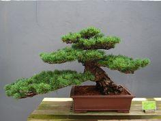 2008457 Pinus parviflora