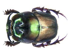 Onthophagus mouhoti Harold, 1875 male