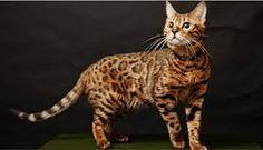 Resultado de imagem para gato raças
