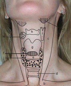 Landmarks of the Throat Area; viewing the throat from the outside and its relation to structures within. Nursing Tips, Nursing Notes, Physician Assistant, Medical Assistant, Nclex, Medical Students, Nursing Students, Surgical Tech, Respiratory Therapy