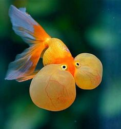 bubbled eyed goldfish