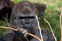 Silverback Gorilla | silverback-gorilla.jpg