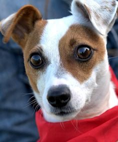 MISS COCOA(AN UNBELIEVABLE STORY!!!!! PLS READ!! is an adoptable Jack Russell Terrier searching for a forever family near Newington, CT. Use Petfinder to find adoptable pets in your area.