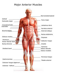 Human Muscles labeled diagram for kids
