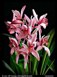 Cymbidium Cherry Blossom 'Profusion'. A hybrid orchid (color)