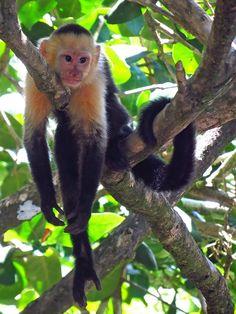 Monkeys in Manuel Antonio Park,  Costa Rica
