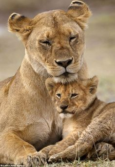 An poster sized print, approx (other products available) - Lion (Panthera leo) cub providing a head rest for its mother, Ndutu Conservation Area, Tanzania - Image supplied by Nature in Print - Poster printed in the USA Beautiful Cats, Animals Beautiful, Cute Baby Animals, Animals And Pets, Lioness And Cubs, Lioness And Cub Tattoo, Wildlife Biologist, Gato Grande, Lion Love