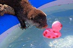 Oder Sie brauchen nur jemanden, Ihren Pool Spielzeug aus dem tiefen Ende abzurufen. | Community Post: 20 Unconventional Reasons To Be Friends With Otters