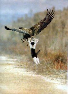Poor cat!  目先の愛護-鳥の広場  PHOTO SHOPPED....Look at the cats legs.  They are behind/not in front of the eagles talons.