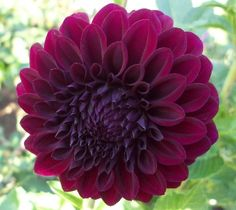Shadow Cat - A tall full plant with lots of blooms, the flowers are classified as red, but the flower is a dark...