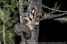 This #Squirrel #Glider was found peering down on us from the #safety of its perch #aus_wildlife