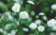 Ranunculus aconitifolius 'Flore Pleno' c. Jason Ingram