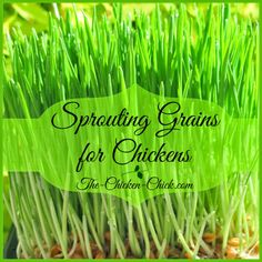 Sprouting grains is an easy way to provide chickens with fresh, nutritious greens any time of year with very little effort.