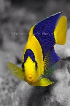 http://freedom-divers.com  Very rare Angelfish