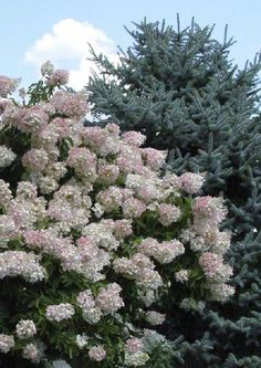 Peegee Hydrangea 'Grandiflora' - Bush, can be gown as tree, mid to late summer white flowers turn to pink and then tan in late fall.  up to 15-20', full or partial sun, vigourous, trouble free.