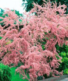 Tamariška - Tamarix parviflora