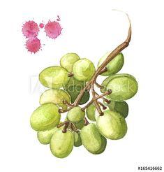 grape illustration, watercolor bunch of green grape