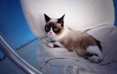 Grumpy Cat showing her Snowshoe colors well in this photo.