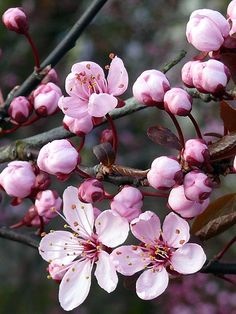 Discover the world through photos. Cherry Flower, Cherry Blossoms, Bach Flowers, Pink Love, Flower Cards, Watercolor Paintings, Herbs, Pictures, Photos