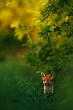A red fox in the woods (via Hermann Hirsch)