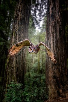 "Owl:  ""Honing In..."""