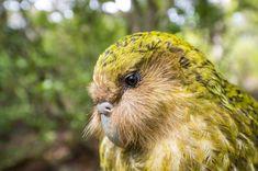 Weird Birds, Rare Birds, Kakapo Parrot, Grumpy Old Men, Bird Drawings, Big Bird, Predator, Conservation, Habitats