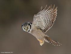 Northern Hawk Owl by Axel Hildebrandt, via 500px