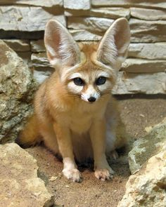 Fennec Fox Nature Animals, Animals And Pets, Funny Animals, Cute Animals, Wild Animals, Beautiful Creatures, Animals Beautiful, Fox Images, Fox Drawing