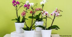 How To Repot Phalaenopsis Orchids (Moth Orchid) - Smart Garden Guide Orchid Planters, Orchid Pot, Moth Orchid, Growing Ginger Indoors, Phalaenopsis Orchid Care, Planters For Sale, Smart Garden, Garden Guide, Plantation