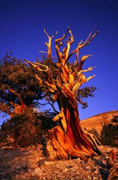 Read More About Methuselah (over 4,800 years old) in the Ancient Bristlecone Pine Forest located in the Patriarch Grove section of the Inyo National Forest near Bishop, California • photo: Mike Norton on www.123rf....