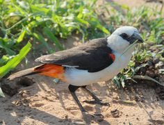 White-headed Buffalo Weaver (Dinemellia dinemellia)
