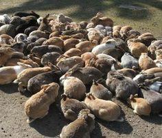 Okunoshima, Japan - Bunny Island. I HAVE to go there!!!!