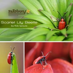 Scarlet Lily Beetle - By Rob Sproule, Salisbury Greenhouse #Beetle