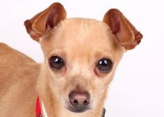 Adopt Atom, a lovely 1 year  10 months Dog available for adoption at Petango.com.  Atom is a Chihuahua, Short Coat and is available at the National Mill Dog Rescue in Colorado Springs, CO.  milldogrescue.org...#adoptyourfriendtoday#rescue