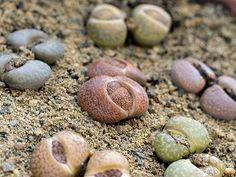 Lithops - most interesting succulent... they look like rocks; they flower