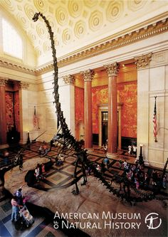 Postcard of Barosaurus at the American Museum of Natural History in New York, NY.