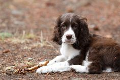 Hello, little baby Springer Spaniel. I want you to be Watson's little brudder. Baby Puppies, Cute Puppies, Cute Dogs, Dogs And Puppies, Springer Spaniel Puppies, English Springer Spaniel, Happy Puppy, Family Dogs, Beautiful Dogs