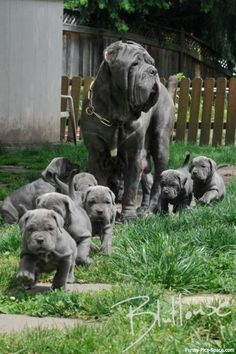 A Neapolitan Mastiff Mom ~ With Her 'Litter' of Puppies!                                                        (By: Iqbal Dhaliwal.)