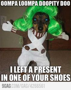 Missy, did you dress Zena up as an oompa loompa lol, this looks like her! Lol, Haha Funny, Funny Cute, Funny Dogs, Funny Animals, Funny Stuff, Funny Things, Funny Shit, Adorable Animals