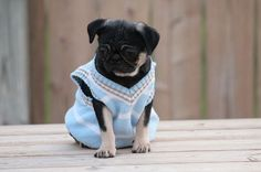 """Fairytailpuppies """"where pets are family too - Black/Tan Pug"""